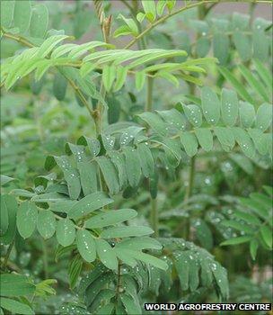 Gliricidia sepium (Image: World Agroforestry Centre)