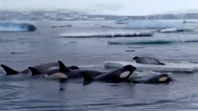Killer whales hunting a weddell seal (BBC)