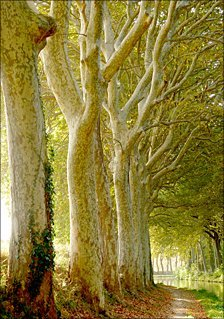 Plane trees and towpath of canal du midi