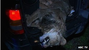 Escaped lion shot dead near Zanesville, Ohio (Pic: ABC TV)