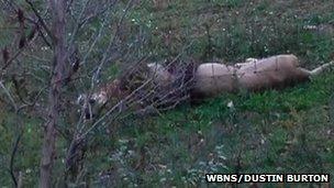 Dead lion around Zanesville