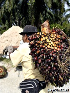 Oil palm plantation worker carries an oil palm bunch