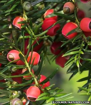 Common yew fruit (Image: Simon Colmer/Naturepl.com)