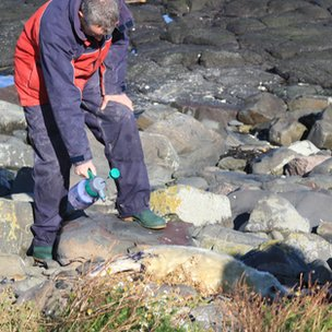 Warden marking a newborn seal pup with paint