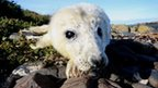 Two-day-old grey seal pup