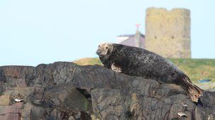 Bull seal on the Farne Islands
