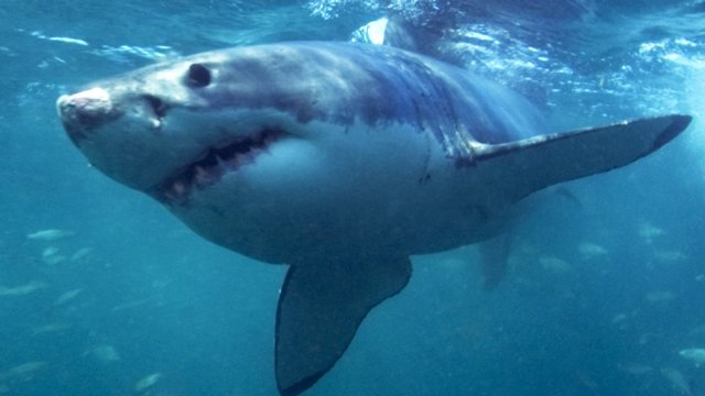 Great white - generic image