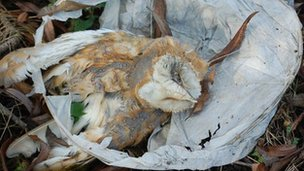 Barn owl trapped in Chinese lantern