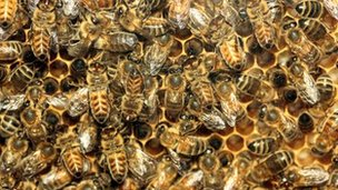 A file photo of honey bees
