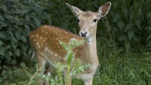 Fallow deer