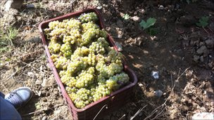 Kosovo grapes