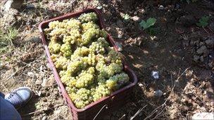Kosovo grapes