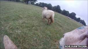 "Image of sheep from ""ram-cam"""