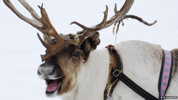 A reindeer panting (c) Kia Karup Hansen