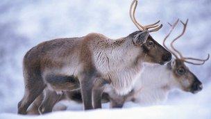 Reindeer (c) Niall Benvie / Naturepl.com