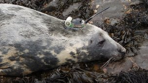 Grey seal with datalogger (Image: Bernie McConnell/ Sea Mammal Research Unit) 