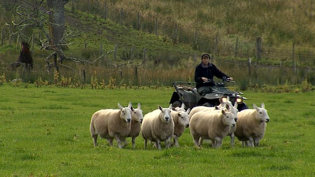 Farmer on a quad bike herding sheep