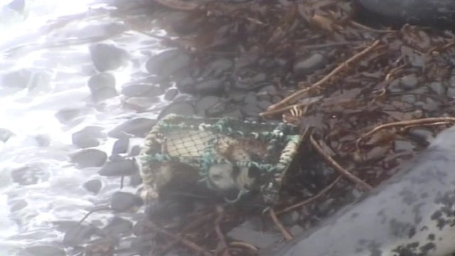 Seal pup trapped in a lobster pot as the tide comes in