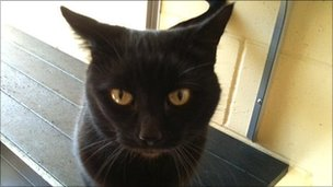 Kizzy, a black cat at the Blue Cross Cambridge shelter