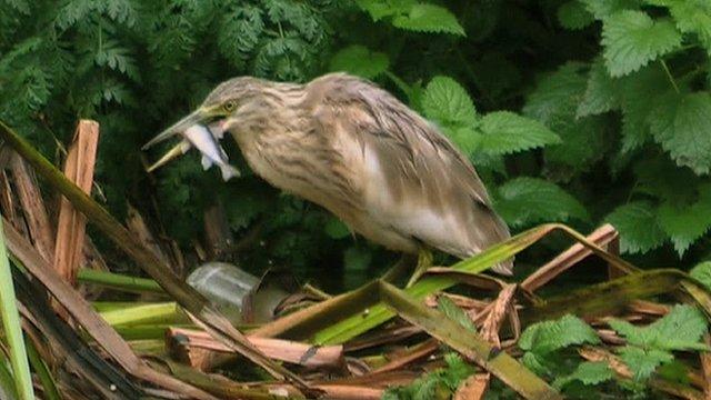 Squacco heron eats a fish at Attenborough Nature Reserve