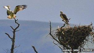 Lake District ospreys