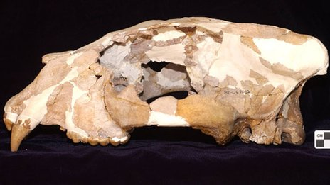 A reconstructed fossil skull of A. africanum (c) Dr Stephen Wroe