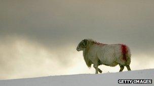 Ram in snow