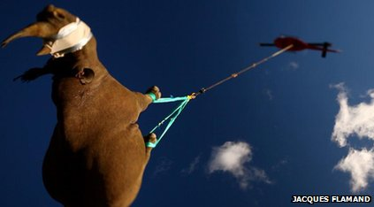 Black rhino being transported by helicopter