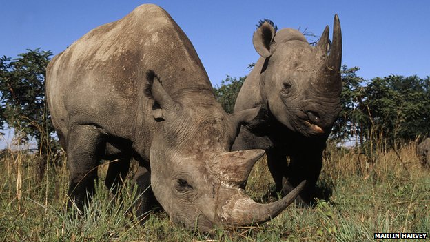 Black rhinoceroses