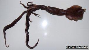 New squid species (Credit: R. von Brandis)