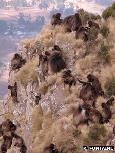 Gelada baboons (Credit: 