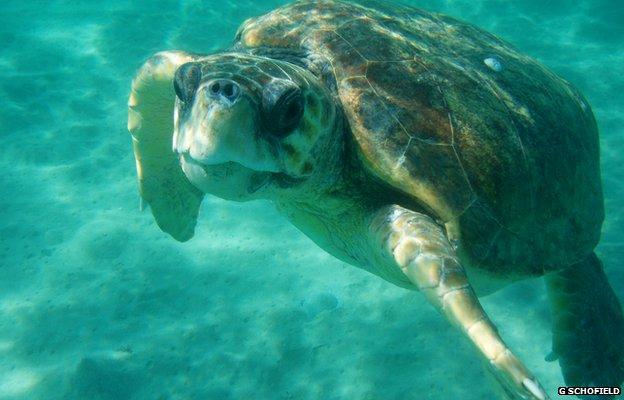 Loggerhead turtle (c) Gail Schofield