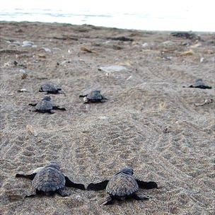 Loggerhead turtle hatchlings (c) Gail Schofield