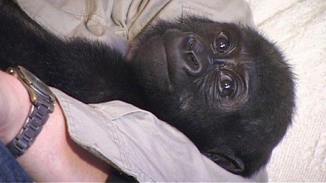 Baby gorilla Okanda