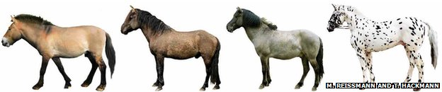 Przewalski horse and domestic horses (Credit: PNAS)