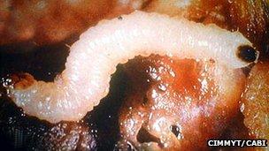 Western corn root worm larvae (Image: CIMMYT/Cabi)