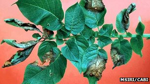 Potato blight (Image: MSIRI/Cabi)