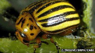 Colorado potato beetle (Image: C. Trouve/SRPV/Cabi)