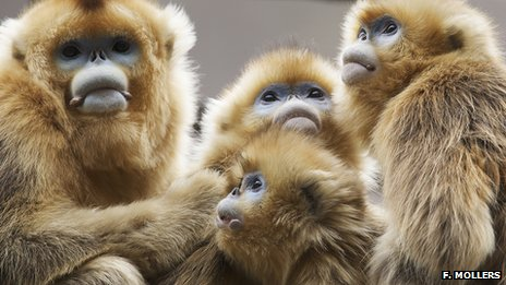 Snub-nosed monkeys (Credit: Florian Mollers)