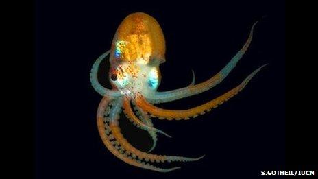 Octopus (Credit: S.Gotheil/IUCN)