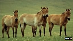 przewalski&#039;s horse