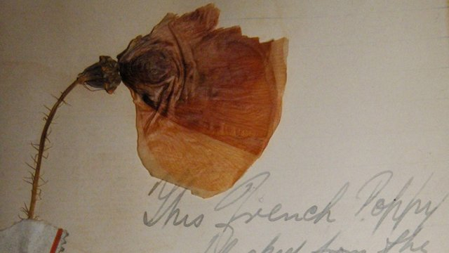 A dried poppy which has been picked in France in 1916