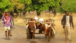 Farmers with oxen in western Zambia