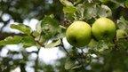 Apple tree (generic)