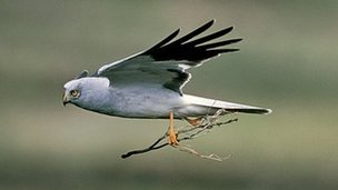 Hen harrier. Photo: RSPB