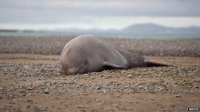 Stranded Beluga whale (c) Elizabeth White