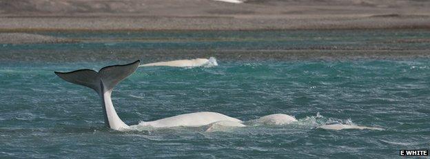 Beluga whales (c) Elizabeth White
