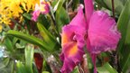 Cattleya for sale on display at the 20th World Orchid Conference in Singapore, 18 November 2011