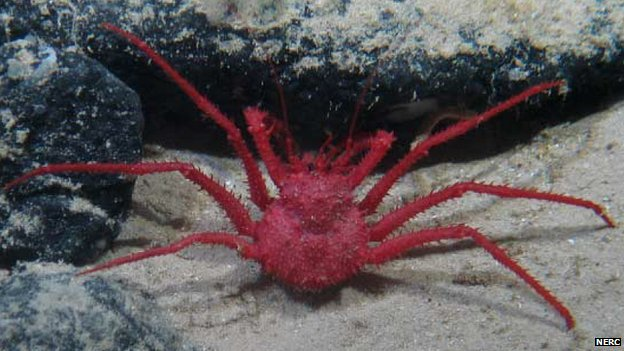 Image of a crab captured by a camera aboard a remotely operated submarine vehicle (c) NERC