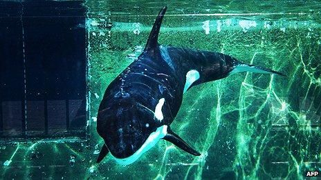 Morgan - killer whale